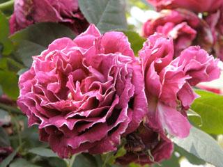 バラ(薔薇) 'バロン・ジロー・ド・ラン'