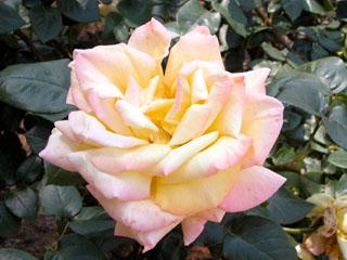 バラ(薔薇) 'ピース'