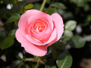 バラ(薔薇) 'ピーチ姫'(ミニバラ)