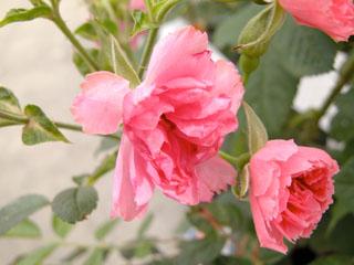 バラ(薔薇) 'ピンクグルーテンドルスト'