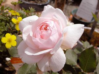 バラ(薔薇) 'ピンクグルスアンアーヘン(イレーネワッツ)'
