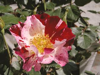 バラ(薔薇) 'フォースオブジュライ'