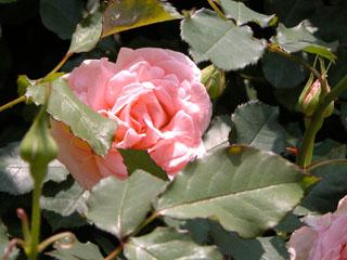 バラ(薔薇) 'ブライダルピンク'