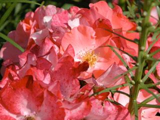 バラ(薔薇) 'フラワーカーペット'