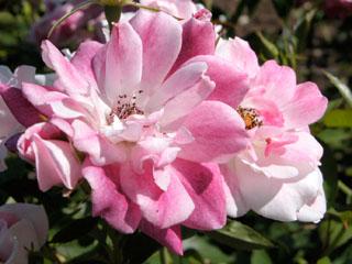 バラ(薔薇) 'ブリリアントピンクアイスバーグ'