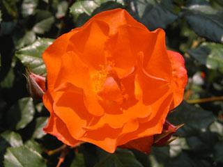 バラ(薔薇) 'プリンセス・ミチコ'