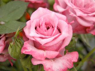 バラ(薔薇) 'ブルーオベーション'(ミニバラ)
