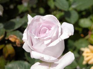 バラ(薔薇) 'ブルーバユー'