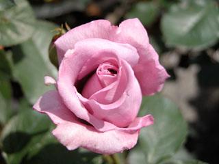 バラ(薔薇) 'ブルームーン'(つるバラ)