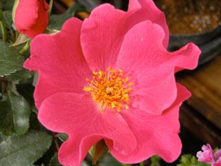 バラ(薔薇) 'プレイガール'