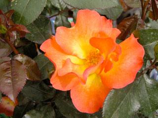 バラ(薔薇) 'プレイボーイ'