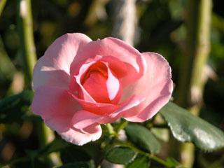 バラ(薔薇) 'ヘリテージ'