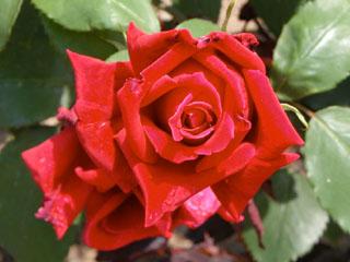 バラ(薔薇) 'ヘルツ・アス'