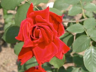 バラ(薔薇) 'ヘンケル・ロイヤル'