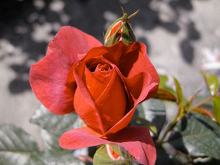 バラ(薔薇) 'ホットココア'