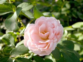 バラ(薔薇) 'ボルデュール・ナクレ'