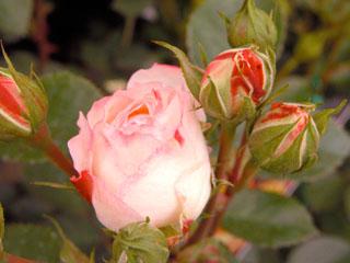 バラ(薔薇) 'ホワイトピーチ・オベーション'(ミニバラ)
