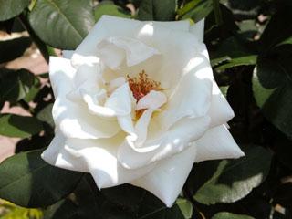 バラ(薔薇) 'ホワイトプリンス'