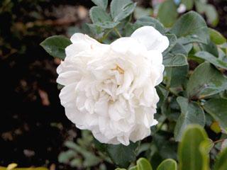 バラ(薔薇) 'ホワイトメイディランド'