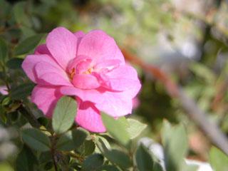 バラ(薔薇) 'ポンポンドパリ'(つるバラ)