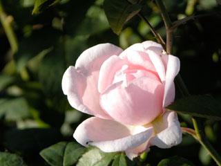 バラ(薔薇) 'マサコ(エグランティン)'