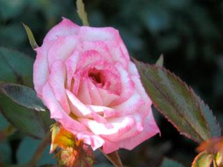 バラ(薔薇) 'マジック・カルーセル'
