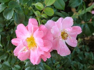 バラ(薔薇) 'マジック・メイディランド'