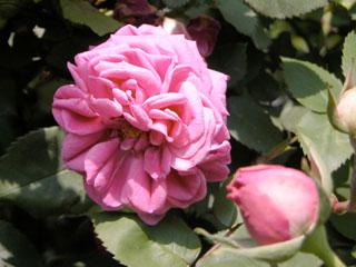 バラ(薔薇) 'マダム・アイザック・ペレール'
