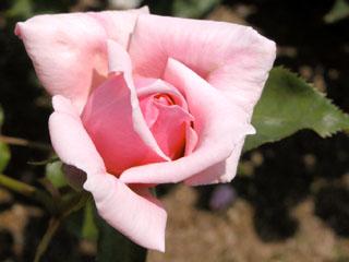 バラ(薔薇) 'マダム・アベル・シャトネ'