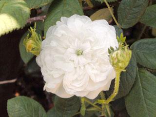 バラ(薔薇) 'マダム・アルディ'
