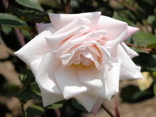 バラ(薔薇) 'マダム・アントワーヌ・マリー'
