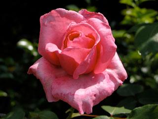 バラ(薔薇) 'マダム・カロリン・テストゥ'(つるバラ)