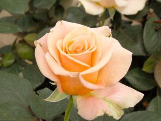 バラ(薔薇) 'マリリンモンロー'