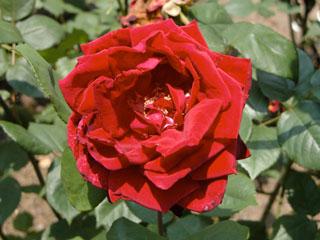 バラ(薔薇) 'ミスター・リンカーン'