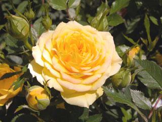 バラ(薔薇) 'ミストラル'(ミニバラ)