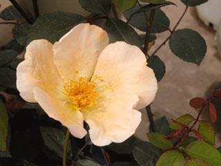 バラ(薔薇) 'ミセス・オークリー・フィッシャー'