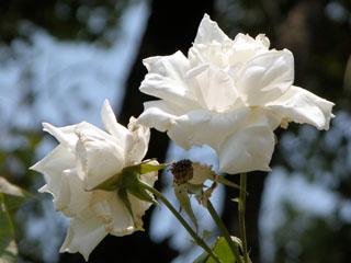バラ(薔薇) 'ミセス・ハーバード・スティーブンス'(つるバラ)