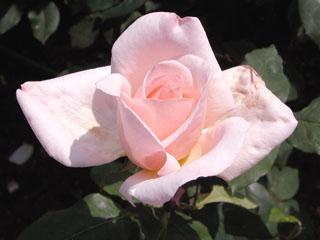 バラ(薔薇) 'ミッシェル・メイアン'