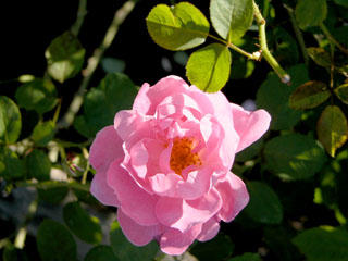 バラ(薔薇) 'メアリーローズ'