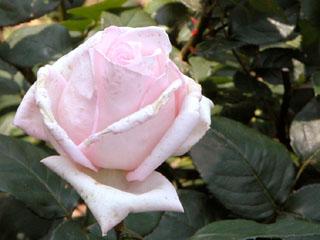 バラ(薔薇) 'メルヘンケニギン'