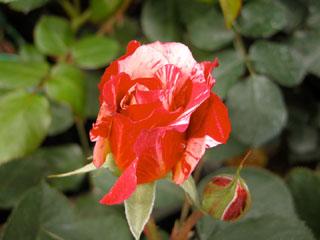 バラ(薔薇) 'モーリスユトリロ'