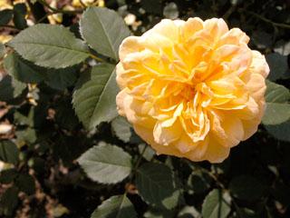 バラ(薔薇) 'モリニュー'
