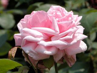 バラ(薔薇) 'ラ・フランス'