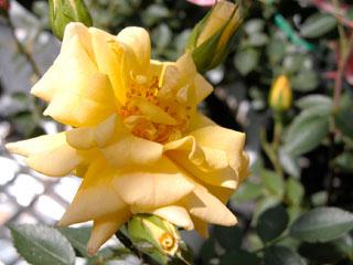 バラ(薔薇) 'ライズンシャイン'(ミニバラ)