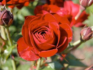 バラ(薔薇) 'ラヴァグルート'