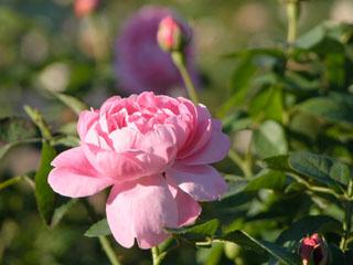 バラ(薔薇) 'ラジオ・タイムズ'