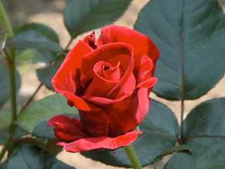 バラ(薔薇) 'ラスティング・ラブ'