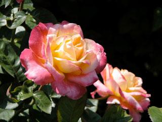 バラ(薔薇) 'ラブアンドピース'