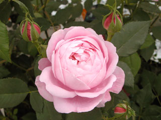 バラ(薔薇) 'ラレーヌビクトリア'