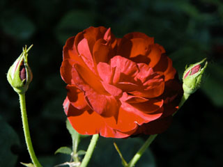 バラ(薔薇) 'リリーマルレーン'